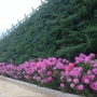桃峰陵园园区道路边上的鲜花1